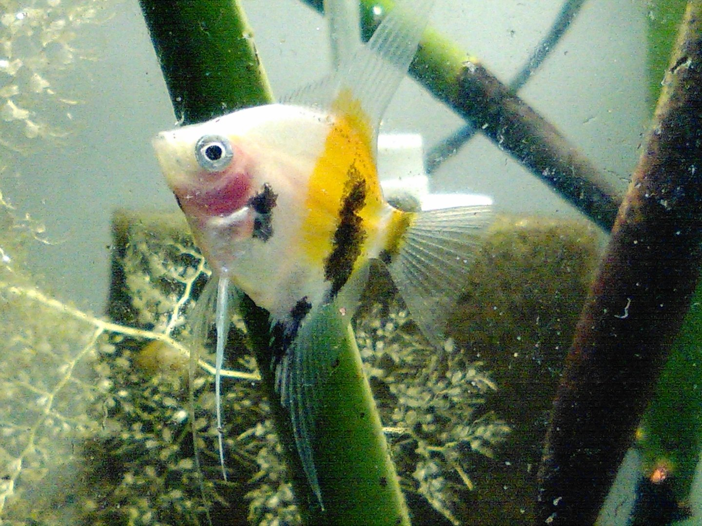 2 koi angel fish gorgeous fish eating and happy for What do koi fish eat
