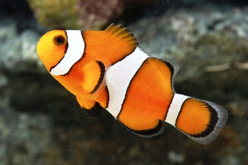 Tank Raised Ocellaris Clownfish