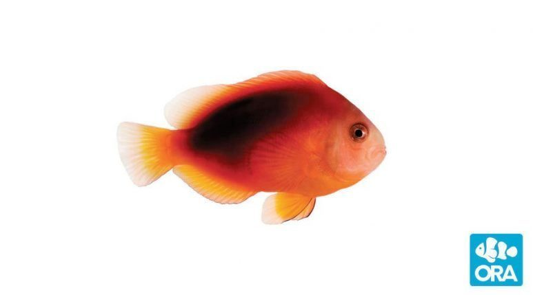 Fire Clown Fish