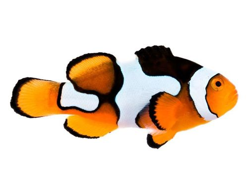 Picasso Clown Fish