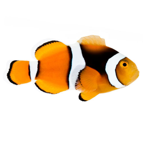 True Percula Clown Fish