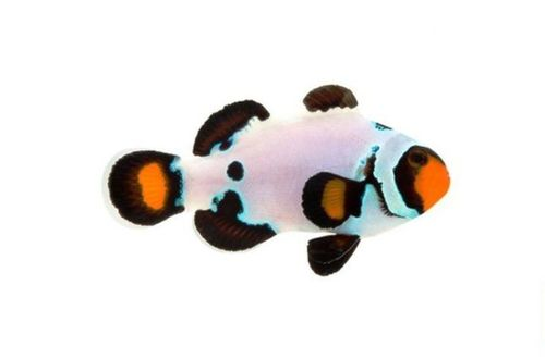 Frostbite Clown Fish